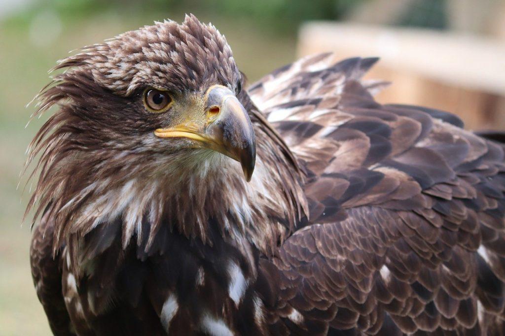 golden eagle, eagle head, adler